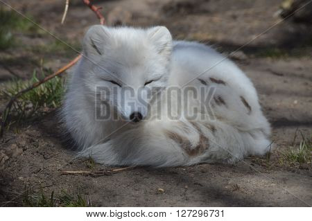An Arctic Fox curled up on the ground