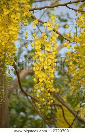 Golden shower flower in nature garden (Cassia fistula)
