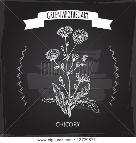 Cichorium intybus aka common chicory sketch on blackboard background. Green apothecary series. Great for traditional medicine, cooking or gardening.