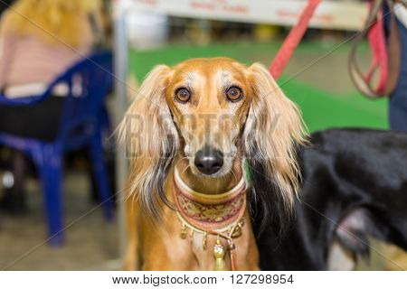 Great red furred hound eyes - at the exhibition