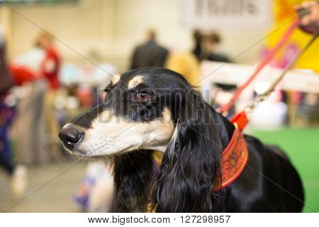 Great black fured hound portrait - at the exhibition