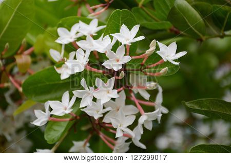 white karonda flower in garden - Carissa carandas L.