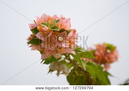beautiful pink Bougainvillea flower in nature garden