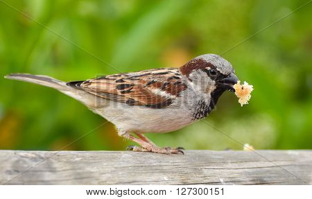 Sparrow eating bread on wood , bird feeding.