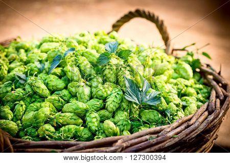 a lot of hop cones in the wicker basket