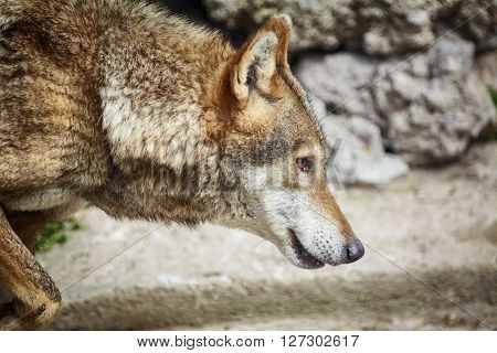 Image of Portrait of the Wolf Looking Ahead