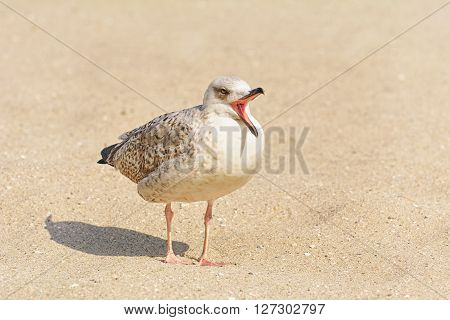 Chittering Birdling of Seagull on the Sand