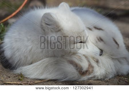 An Arctic Fox curled up on the ground ** Note: Visible grain at 100%, best at smaller sizes