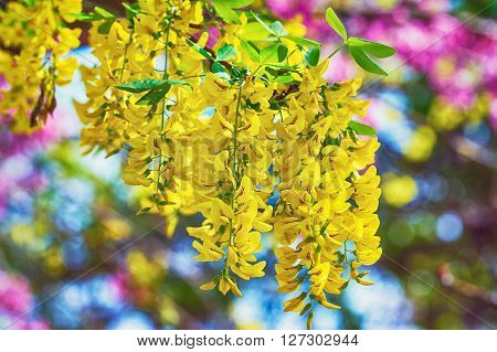 Image of Racemes of Yellow Common Laburnum Flowers