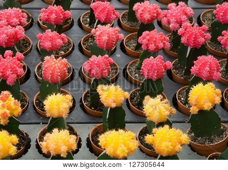 Red And Yellow Cactus Desert Plant.