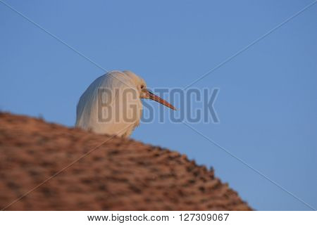 white egyptian heron sits huched on the straw roof in the dawn light of the morning