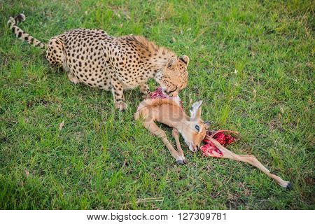 Small cheetah eating a caught impala in the Maasai Mara national park (Kenya)