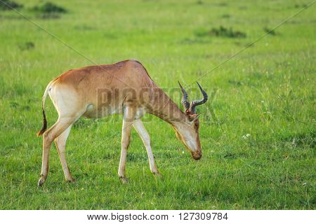 Hartebeest (antelope) grazing in the Maasai Mara national park (Kenya)