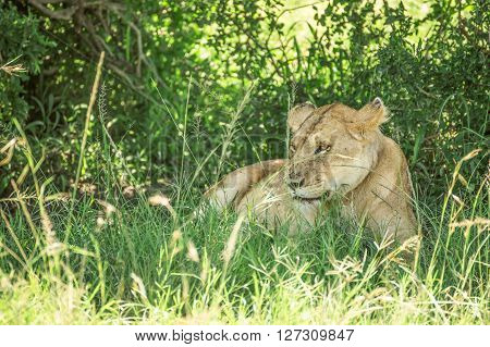 Lioness resting in the bushes in the Maasai Mara national park with lots of flies covering it (Kenya)