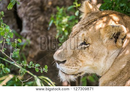 Sleepy lioness resting in the bushes in the Maasai Mara national park (Kenya)