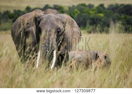 African female elephant and a baby elephant walking together through the high grass in the Maasai Mara national park (Kenya)