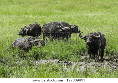 Group of African buffalos resting in the mud in the Maasai Mara national park (Kenya)
