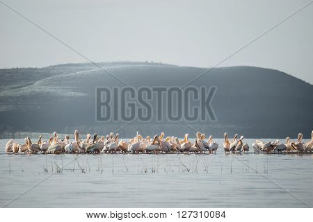 Big group of flamingos and pelicans observed on the water of the Nakuru lake (Kenya)