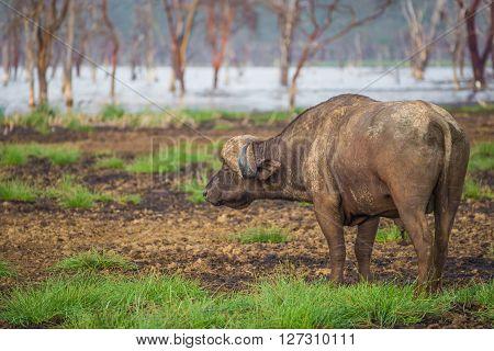 African buffalo near the Nakuru lake (Kenya)