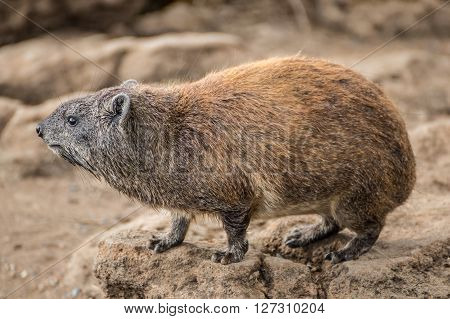 Hyrax close-up view in one of the national parks of Kenya