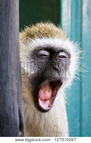 Vervet monkey yawning in one of the national parks of Kenya