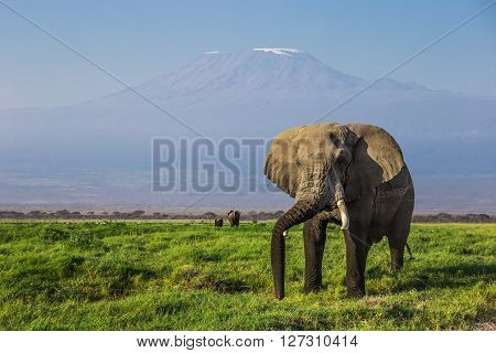Big male African elephant with the mount Kilimanjaro in the background in one of the national parks of Kenya