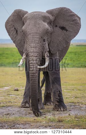 Big male African elephant in one of the national parks of Kenya