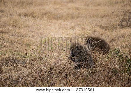 Two baboons eating in the grass of the Ngorongoro national park (Tanzania)