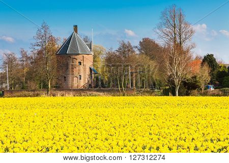 Field with yellow daffodil flowers blooming in spring and old mill in Holland town Lisse, Netherlands