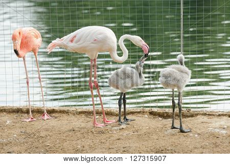 Pink Flamingo Phoenicopterus Roseus Feeding Chicks