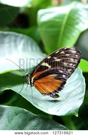An orange postman tropical butterfly sitting on a leaf.