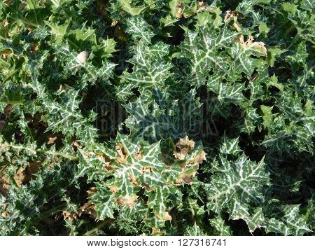 outdoor thorny plants in the garden in the countryside