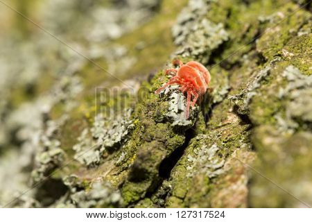 Red velvet mite on tree bark with lichens