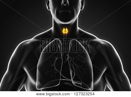 Human Thyroid Gland Anatomy Illustration. 3D render