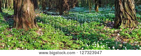 Panoramic image of snowdrops in the forest