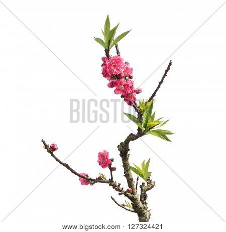 Peach flower blooming on white background
