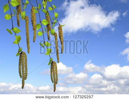 Twigs of a birch tree with fresh green leaves and catkins on the blue sky with white clouds background