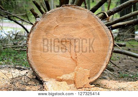 Cutted Tree Stump