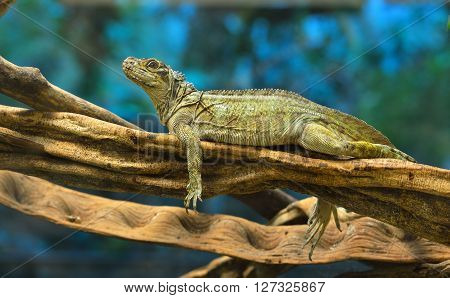 Large Iguana Lizard Resting On A Tree Branch In A Terrarium Environment