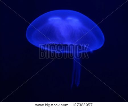 Dark Blue Jellyfish Glowing In The Dark