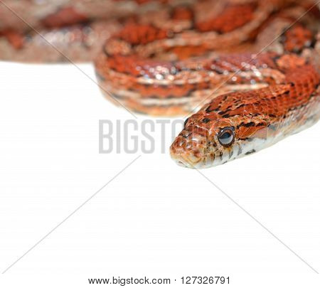 Colourful Red Exotic Grass Snake Isolated Over White