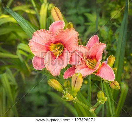 Blooming beauty pink Hemerocallis in the flowerbed