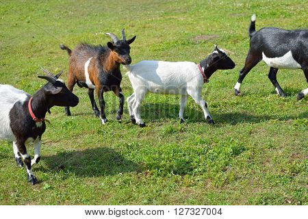 Four Goats Walking On Green Summer Grass