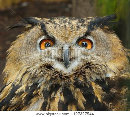 Eurasian Eagle-owl (bubo Bubo) Head Closeup In Natural Environment.
