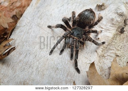 Birdeater Curlyhair Tarantula Spider Brachypelma Albopilosum In Natural Forest Environment. Black Ha