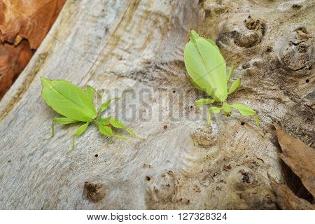 Two Green Leaflike Stick-insects Phyllium Giganteum Interacting On A Tree Trunk In Natural Environme