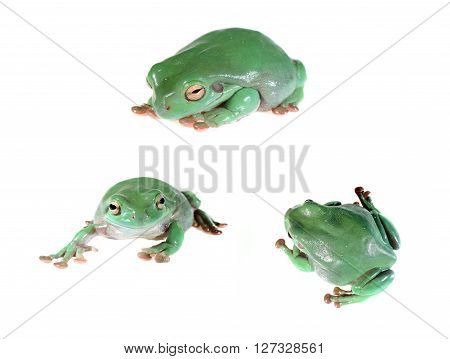 Australian Green Tree Frog Litoria Caerulea Isolated On White
