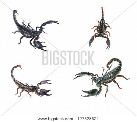 Large Black Scorpion Heterometrus Laoticus And Scorpion Pandinus Imperator Isolated On White