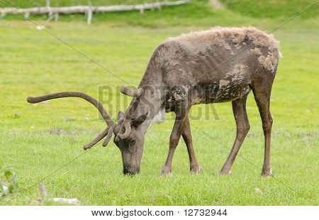 What Reindeer Do When Not Pulling Slieghs
