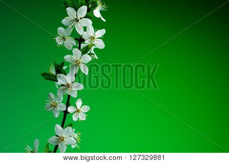 beautiful spring blossom on green background. studio shot.